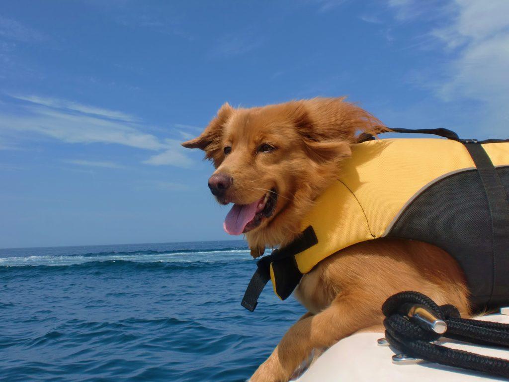 les chiens Caraïbes