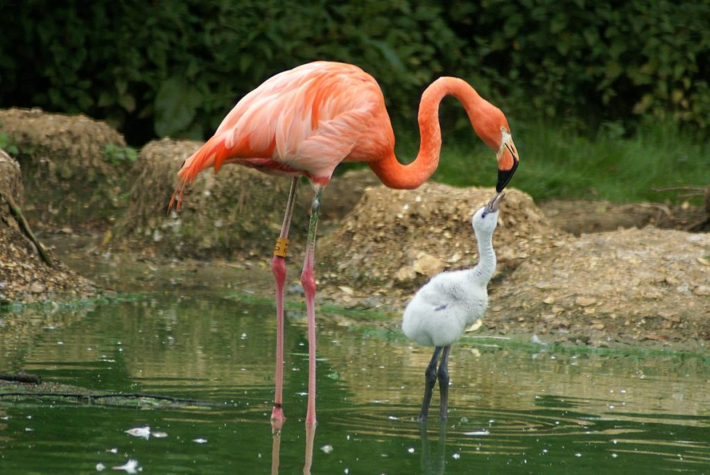 A Caribbean flamingo feeding its young.