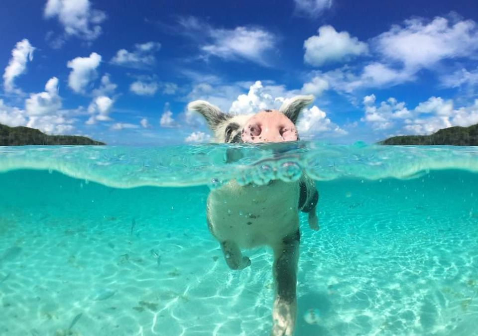 Swimming pigs live in the Bahamas.
