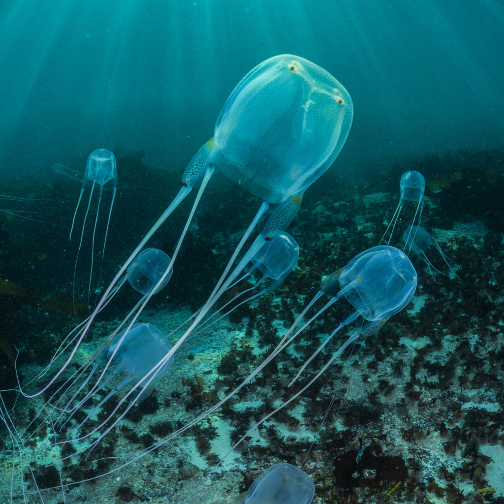 Box jellyfish in the Caribbean.